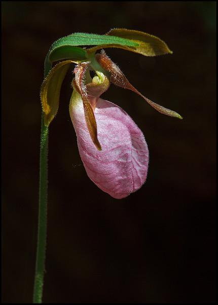 Cypripedium acaule, pink lady's slipper