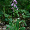 Platanthera grandiflora, large purple-fringed orchis