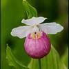 Cypripedium reginae Showy Lady's-slipper