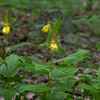 Cypripedium parviflorum, large yellow lady's slipper