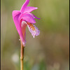 Arethusa bulbosa, dragon's mouth