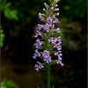Platanthera psychodes, small purple fringed orchid
