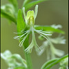 Platanthera lacera, Ragged Orchis