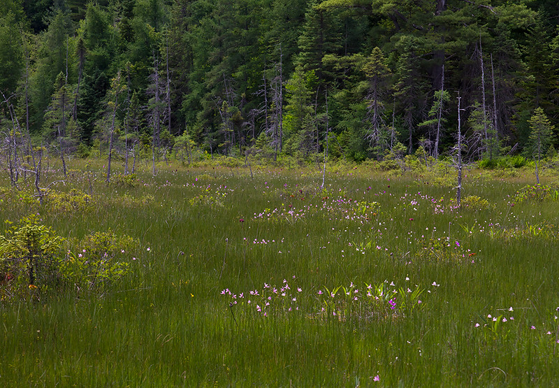 Hitchins Bog, Adirondacks-grass pink and rose pogonia