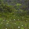 Ferd's bog, white fringed orchid