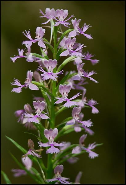 Platanthera grandiflora, large purple-fringed orchis