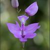 Calopogon tuberosus, grass-pink