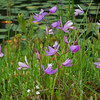 Little Polliwog Pond-grass pink and rose pogonia
