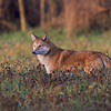 Eastern Coyote, Saratoga County