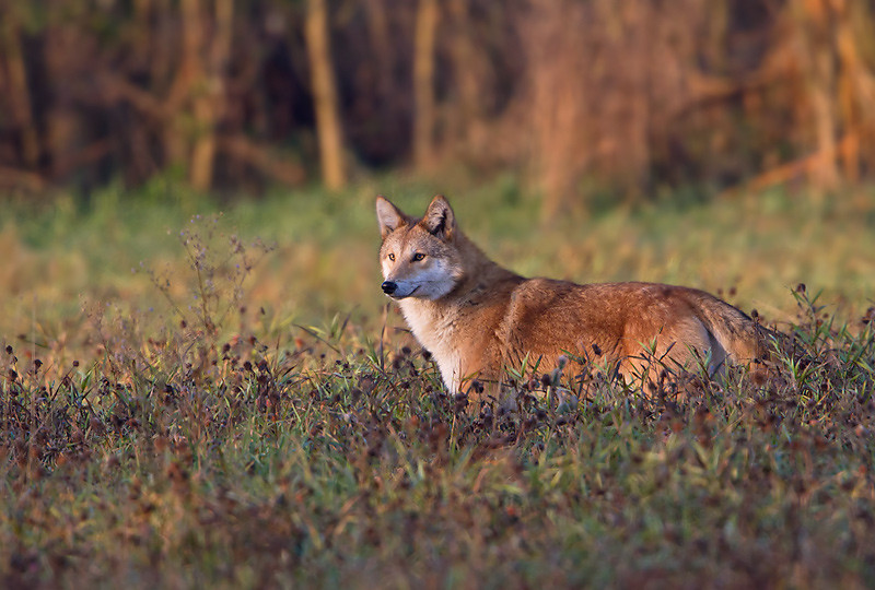 Eastern Coyote, Saratoga County