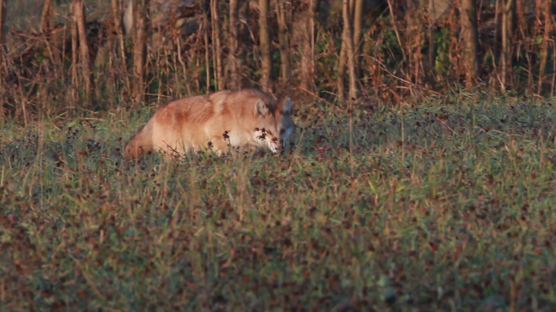 Eastern Coyote, Nov 12, 2012, Saratoga County