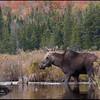 moose-060922-9475