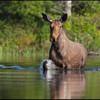 moose-9759