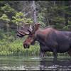 moose-062611-093