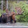 moose-53bus
