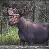 moose-062611-030b