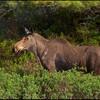 moose-9782
