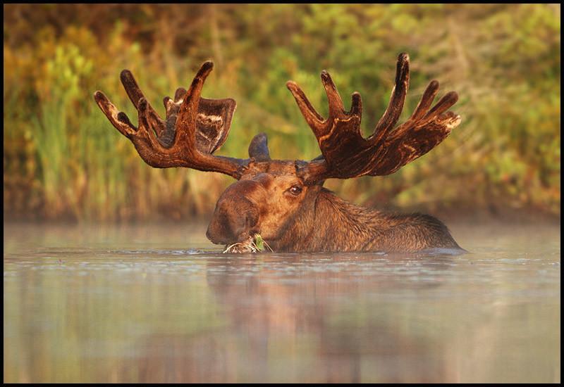 moose-072111-072