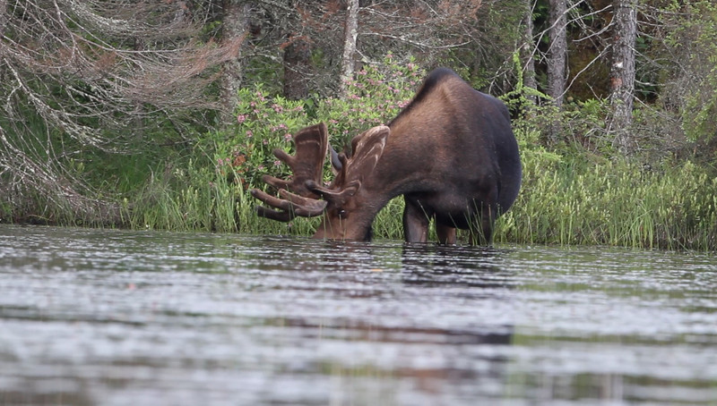 Bull Moose, Adirondacks . . . . a remote pond and associated wetlands, taken June 2011