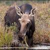 moose-0609229430
