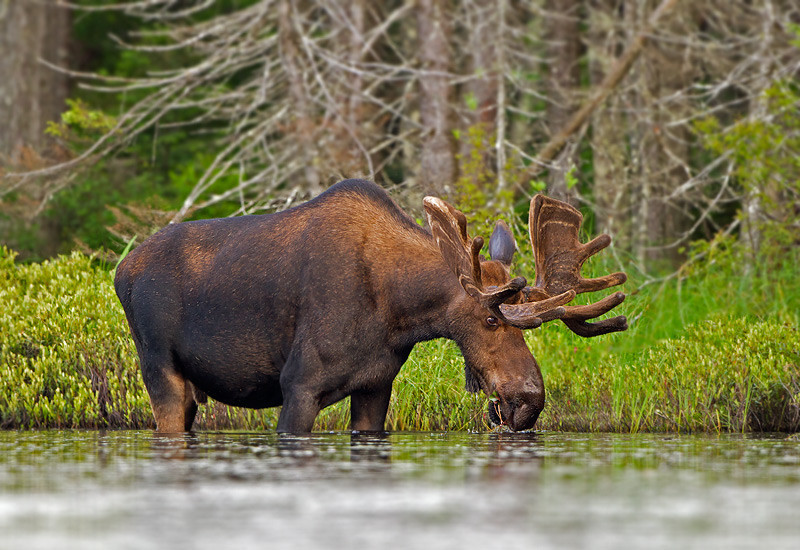 moose-063011c-014