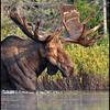moose-072111-192mm