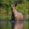 moose-9758