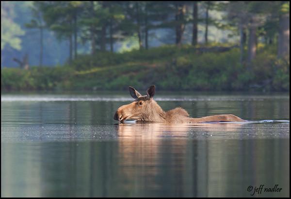 moose-9725