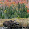 moose-9526