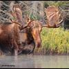 moose-072111-151