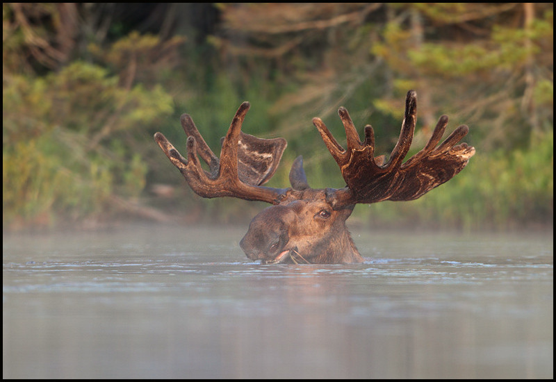 moose-072111-058