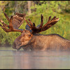 moose-072111-094f
