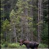 moose-062611-104