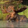moose-072111-177
