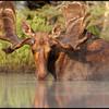 moose-072111-138