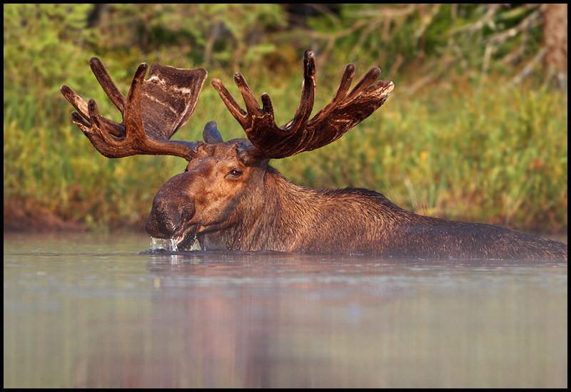 moose-072111-090