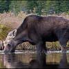 moose-060922-9477