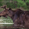 Moose : 1 gallery with 67 photos
