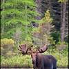 moose-063011-072