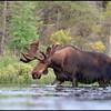 moose-063011-131