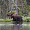 moose-062611-086