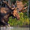 moose-183