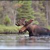 moose-063011-125