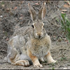 Desert Cottontail, Theodore Roosevelt NP