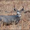 Mule deer, Mt. Washburn area