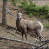 Big horn sheep along Yellowstone River Picnic trai
