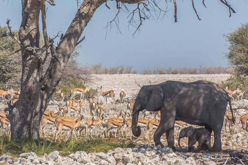 Elephant mother and day-old baby at Etosha waterhole