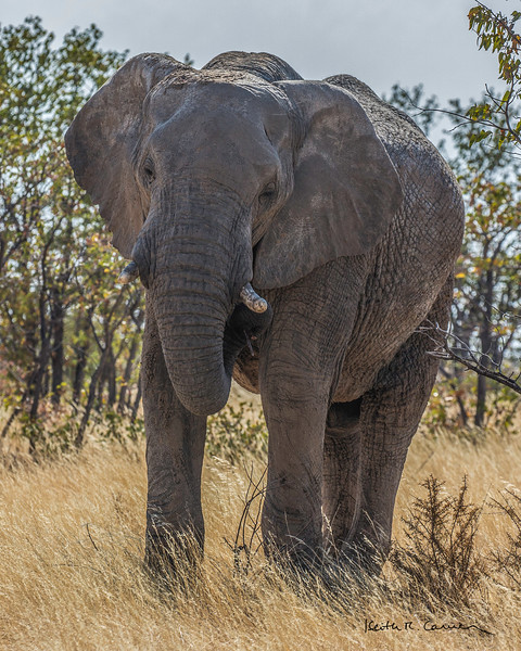 Elephant matriarch in the Etosha bush