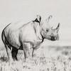 White rhino, Etosha National Park