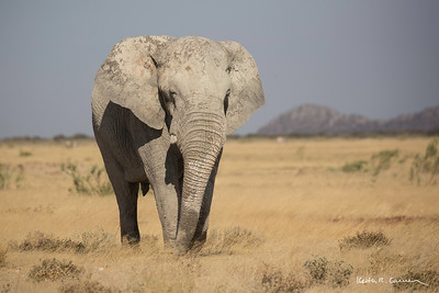 Elephant bull in the Etosha veldt